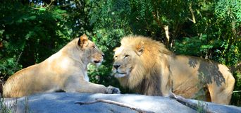 Male and female lion. Adult male and female lion Stock Photography