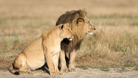 Male & Female Lion, Botswana Stock Photos