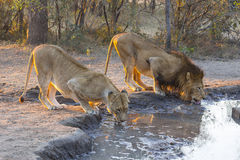 Male and female lion drinking water. At sunset Royalty Free Stock Photo