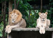 Male and female lion laying together Stock Photography