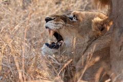Male and female lion mating. In long grass angry Stock Photo