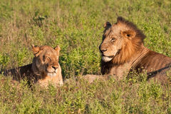 Male and female lion pair lying Stock Photos