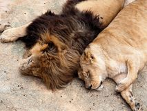 Male And Female Lion Or Panthera Leo Stock Photo