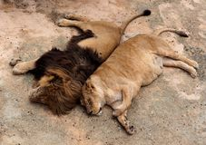 Male And Female Lion Or Panthera Leo Stock Images