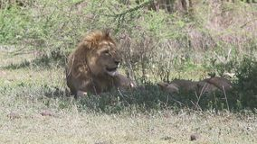 Male and female lion resting in the shade of a tree on slope of the Ngorongoro crater stock video