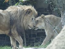 Male and Female Lion Rub Noses Stock Photography