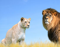 Male and female lion Royalty Free Stock Photography