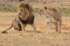 Male and female lion. South Africa Royalty Free Stock Photography
