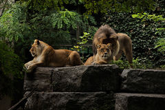 Male and female lions. Male lion and two female lions laying on a rock ledge Stock Photography