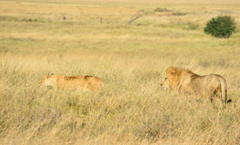 Male and female lions. Are resting Royalty Free Stock Photo