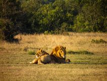 Male and Female Lions on Grass Field Royalty Free Stock Images