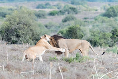 Male and female lions interacting Royalty Free Stock Photos