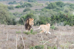 Male and female lions interacting Royalty Free Stock Photo