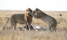 Male and female lions. At a kill Royalty Free Stock Image