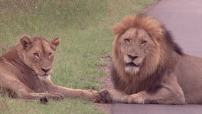 Male and female lions stock video
