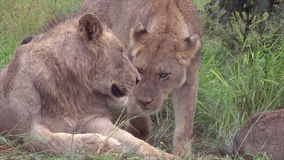 Male and female lions stock footage