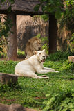 Male and Female Lions lying down. Male and Female white Lions lying down Royalty Free Stock Photos