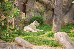 Male and Female Lions lying down. Male and Female white Lions lying down Stock Image