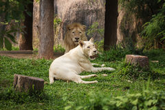 Male and Female Lions lying down. Male and Female white Lions lying down Royalty Free Stock Image
