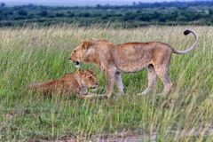 Male and female lions at the masai mara Stock Photos
