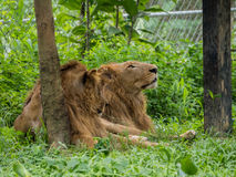 Male and Female Lions. Are resting Royalty Free Stock Images