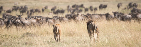 Male and female lions stalk wildebeest herd Royalty Free Stock Images