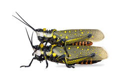 Male and Female Malaysian locust having sex. Aurlarches milliaris, in front of white background, studio shot Stock Photos