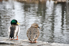 Male and female mallard couple overlooking creek Royalty Free Stock Photos