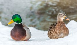 Male and Female Mallard in a Dispute. Is It Enough for a Divorce Stock Image