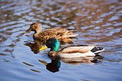 Male and Female Mallard Duck. A male and female mallard duck peacefully swimming Royalty Free Stock Photography