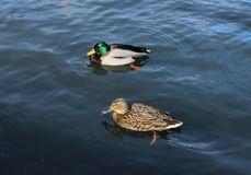Male and female mallard duck (Anas platyrhynchos) are swimming. Male and female mallard duck (Anas platyrhynchos) are swimming on White Lake in the park of Stock Photography