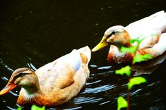 Male and female mallard duck swimming on a pond stock images
