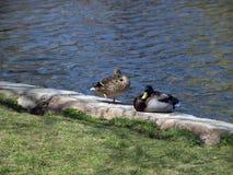 Male and Female Mallard Ducks Stock Photos