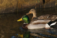 Male and female Mallard ducks. A male and female Mallard swim alongside each other Royalty Free Stock Images