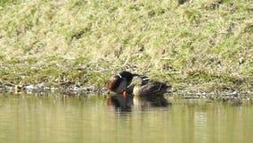 Male And Female Mallard Ducks stock video footage