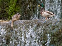 Male and female mallard ducks Anas platyrhynchos above a small. Waterfall extracting food Stock Photography