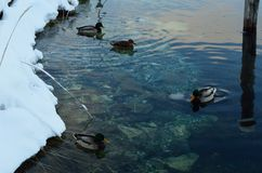 Male and female mallard ducks in cold sea water Royalty Free Stock Images