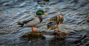 Male and Female Mallard Ducks. Mallard duck couple sitting on a rock in a river Stock Images