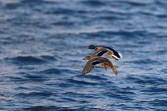 Male and Female Mallard Ducks in Flight Royalty Free Stock Images