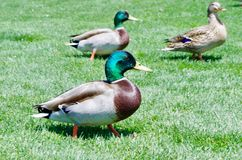 Male and Female Mallard Ducks at a Local Golf Course royalty free stock images
