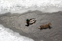 River Mallard duck on the canal. Male and female Mallard ducks on a non-freezing section of the reservoir Stock Photo