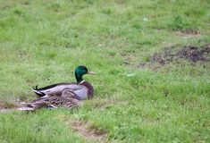 Male and female Mallard ducks in the park royalty free stock photo