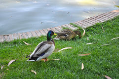 Male and female mallard ducks. By a pond Stock Photos