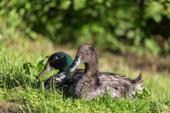 Male and female of mallard ducks. Sitting in the grass Royalty Free Stock Images