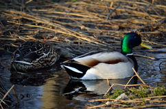 Male and female mallard ducks in spring forest. Looking for food in mud puddles Royalty Free Stock Images