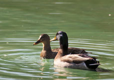 Male and female Mallard Ducks swimming. Stock Image