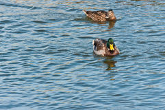 Male and female mallard ducks swimming Royalty Free Stock Photo