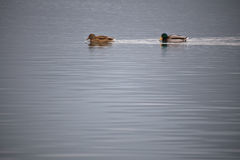 Male and female mallard ducks swimming on lake close up Royalty Free Stock Image