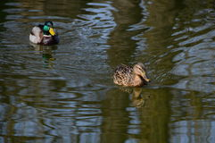 Male and female of mallard ducks swimming on water. With reflection Royalty Free Stock Photography