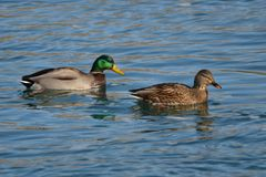 Male and female Mallard Ducks together. Male and female Mallard Ducks (Anas platyrhynchos) together Royalty Free Stock Images